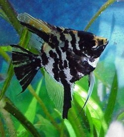 Angelfish - Black Marble - Medium - Quantity of 5